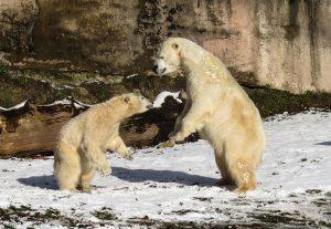 polar-bear-1175481_1920